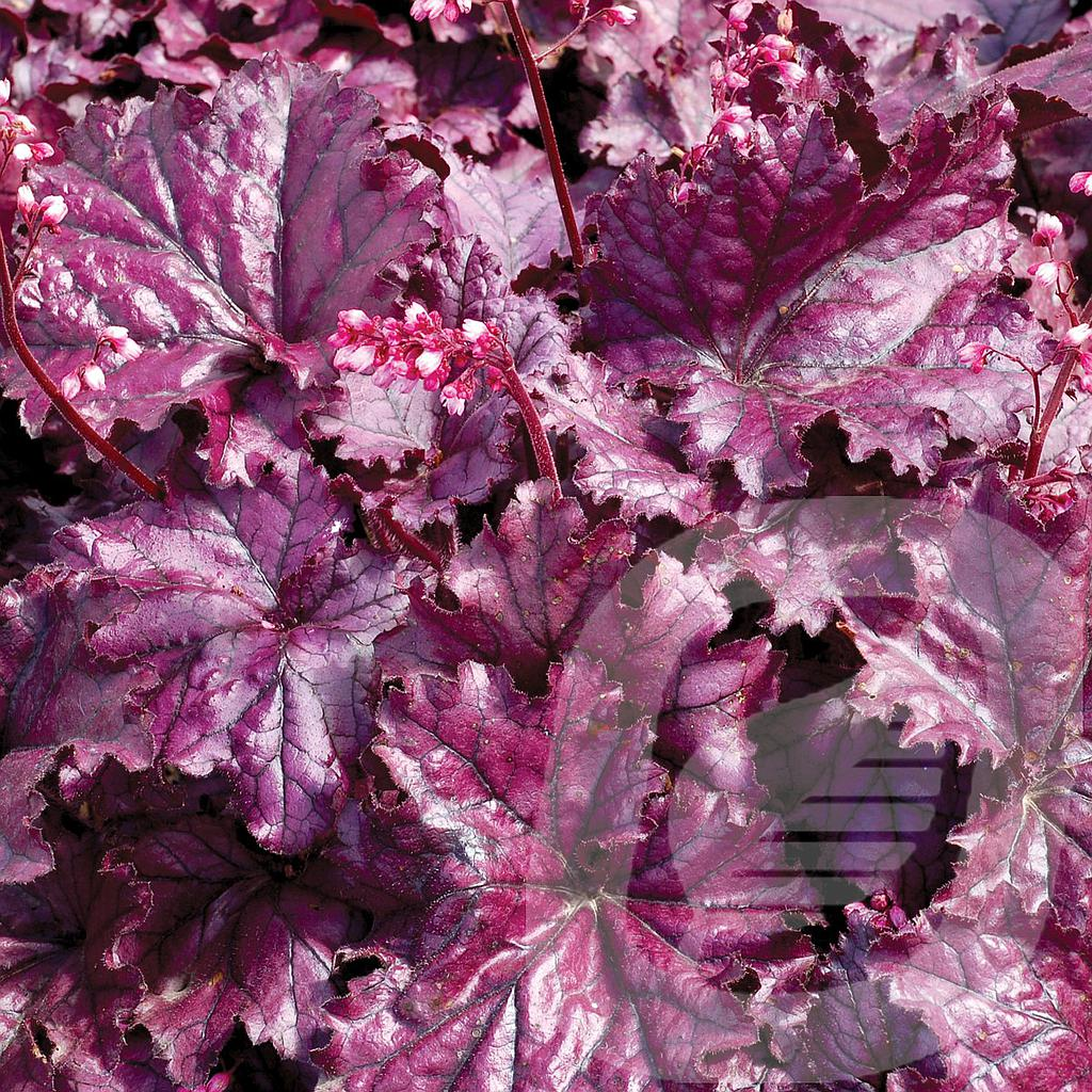 Heuchera 'Forever Purple'®